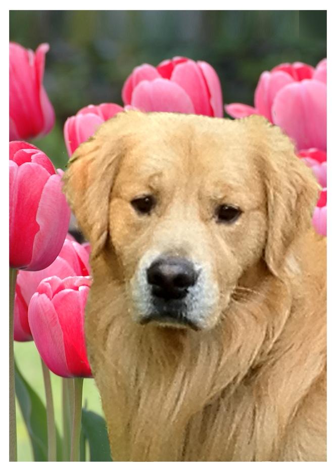 boomer-pink-tulips-2