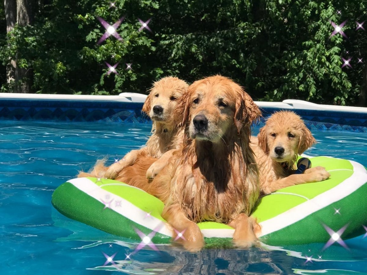 Golden Retriver Puppies in Maine