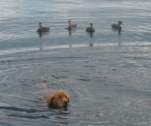 Ducks & Dog