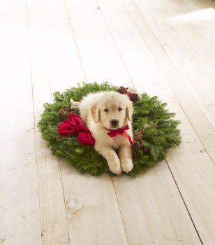 LL Bean Cover Featured Goldiva Puppies