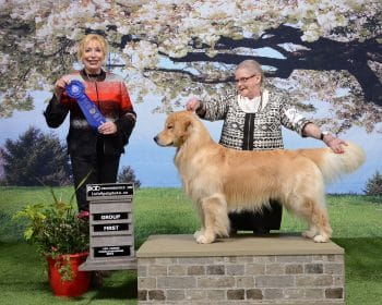 """Can GCH Goldiva's Dream On Dream On with KaraGold """"Aero"""" Earns Grand Champion"""